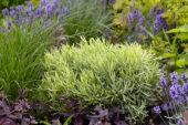 Lavandula angustifolia Platinum Blonde®