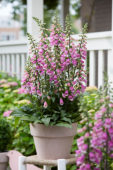 Digitalis Pink Panther