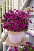 Osteospermum Astra Purple Improved