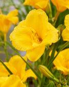 Hemerocallis Younique Yellow