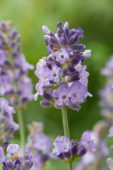 Lavandula angustifolia Spear Blue
