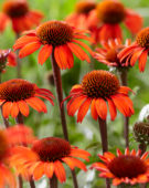 Echinacea SunSeekers Red