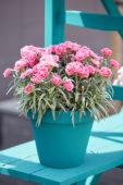 Dianthus Odessa Twiggy