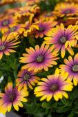 Osteospermum ecklonis Purple Sun