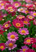 Argryranthemum Angelic ™ Ruby