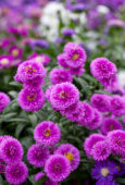 Aster roze