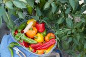 Capsicum harvest