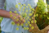 Anethum graveolens flowers