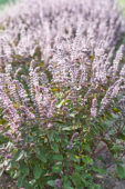 Ocimum basilicum Magic Mountain