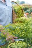 Anethum graveolens bloemen