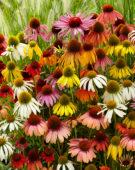 Echinacea mix