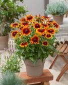Rudbeckia Garden Smileyz