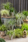 Carex collection