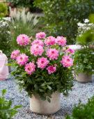 Dahlia Garden Sensation