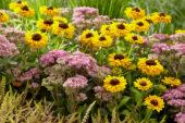Perennial combination, Sedum Carl
