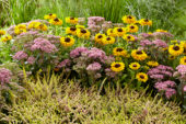 Perennial combination, Sedum Carl