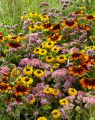 Mixed perennials, Sedum Carl