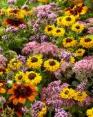 Gemengde vaste planten, Sedum Carl