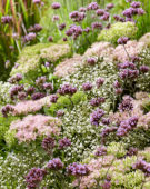 Mixed perennials, Sedum Brilliant