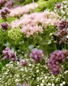 Mixed perennials, Sedum Brilliant