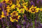 Salvia nemorosa, Rudbeckia Giggling SmileyZ ™
