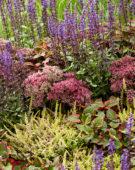 Gemengde vaste planten, Sedum Class Act
