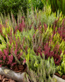 Calluna vulgaris Beauty Ladies mix