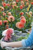 Picking dahlias