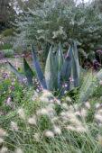 Agave, Pennisetum villosum