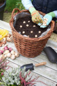 Planting muscari bulbs