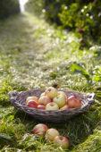 Geplukte appels in boomgaard