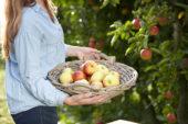 Fruit plukken in boomgaard