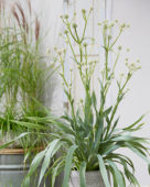 Eryngium yuccifolium Magical Green Globe
