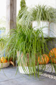 Carex oshimensis Everlime