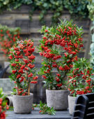 Pyracantha coccinea Red Star