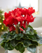 Cyclamen Rainier Scarlet Red