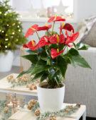 Anthurium andreanum Red Champion