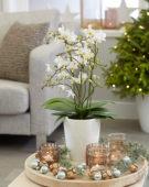 Phalaenopsis white