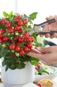 Solanum lycopersicum Ponchi™ F1