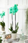 Phalaenopsis Colorchid Green