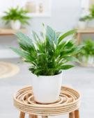 Spathiphyllum wallisii Bellini