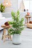 Cupressus macrocarpa Snowcrest®