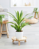Dracaena fragrans Lemon Lime