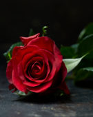 Rosa rood