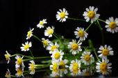 Tanacetum bloemen