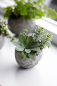 Succulents in homemade cement planter