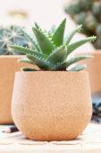 Aloe on pot