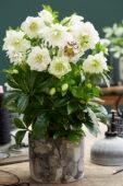 Helleborus orientalis Double Ellen® White
