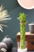 Dracaena sanderiana, lucky bamboo