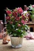 Helleborus orientalis Double Ellen® Red